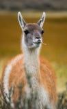 Retrato do guanaco Torres Del Paine chile Imagem de Stock Royalty Free