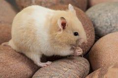 Retrato do hamster novo. Foto de Stock Royalty Free