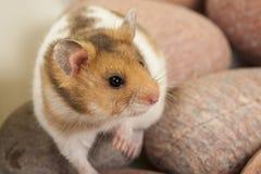Retrato do hamster novo. Fotografia de Stock Royalty Free