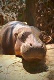 Retrato do hipopótamo na natureza Fotos de Stock Royalty Free