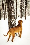 Retrato do inverno de Fila Brasileiro Brazilian Mastiff do adulto foto de stock