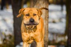 Retrato do inverno de Fila Brasileiro Brazilian Mastiff do adulto imagem de stock royalty free