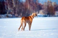 Retrato do inverno do cão Fotos de Stock
