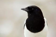 Retrato do inverno do detalhe do pássaro preto e branco Pega europeia ou pega comum, paica da paica, pássaro preto e branco com c Imagem de Stock