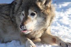 Retrato do inverno do lobo Imagem de Stock Royalty Free