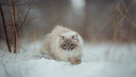 Retrato do inverno do gato do disfarce de Neva imagem de stock