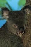 Retrato do Koala imagem de stock