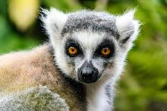 Retrato do lêmure atado anel em Madagáscar Fotografia de Stock
