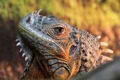 Retrato do lagarto da iguana Imagem de Stock