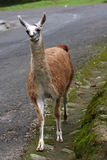 Retrato do Lama Foto de Stock Royalty Free