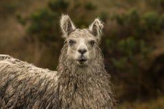 Retrato do lama na chuva fotos de stock royalty free