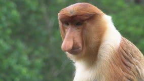 Retrato do larvatus masculino do Nasalis do macaco de probóscide animal endêmico posto em perigo de Bornéu video estoque
