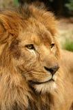 Retrato do leão Imagens de Stock