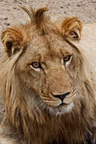 Retrato do leão foto de stock