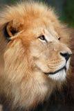 Retrato do leão Fotografia de Stock