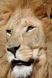 Retrato do leão Fotos de Stock Royalty Free