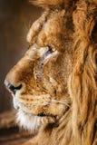 Retrato do leão Fotos de Stock
