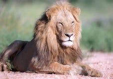 Retrato do leão Imagem de Stock