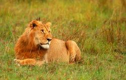 Retrato do leão africano selvagem novo Fotografia de Stock