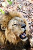 Retrato do leão com a boca aberta que empurra os dentes grandes Imagens de Stock