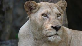 Retrato do leão fêmea video estoque