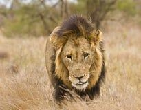Retrato do leão masculino selvagem que anda no arbusto, Kruger, África do Sul Fotografia de Stock