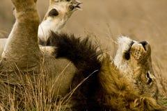 Retrato do leão masculino selvagem que encontra-se para baixo no arbusto, Kruger, África do Sul Fotos de Stock Royalty Free