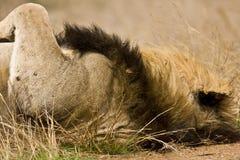 Retrato do leão masculino selvagem que encontra-se para baixo no arbusto, Kruger, África do Sul Fotografia de Stock