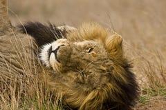 Retrato do leão masculino selvagem que encontra-se para baixo no arbusto, Kruger, África do Sul Fotos de Stock