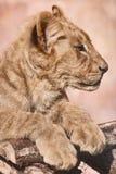Retrato do leão novo Fotos de Stock Royalty Free