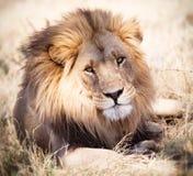 Retrato do leão que olha atentamente na Zâmbia África Imagens de Stock Royalty Free