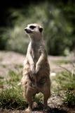 Retrato do Lemming Imagens de Stock