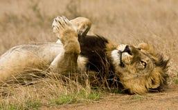 Retrato do leão masculino selvagem que encontra-se para baixo no arbusto, Kruger, África do Sul Fotografia de Stock Royalty Free