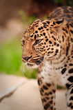 Retrato do leopardo Fotos de Stock Royalty Free