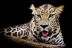 Retrato do leopardo Fotografia de Stock