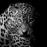 Retrato do leopardo Imagens de Stock