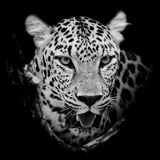 Retrato do leopardo Fotografia de Stock Royalty Free