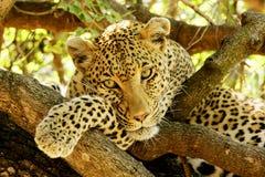Retrato do leopardo Fotos de Stock