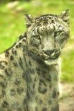 Retrato do leopardo de neve de um animal foto de stock