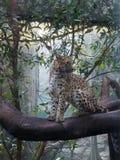 Retrato do leopardo no jardim zoológico fotos de stock