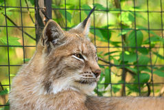 Retrato do lince Fotografia de Stock Royalty Free