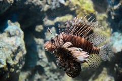 Retrato do lionfish Fotografia de Stock