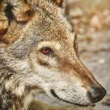 Retrato do lobo Foto de Stock Royalty Free