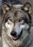 Retrato do lobo Fotografia de Stock