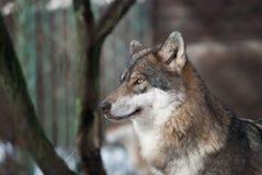 Retrato do lobo Fotos de Stock Royalty Free