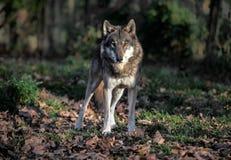 Retrato do lobo fotografia de stock royalty free