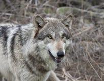 Retrato do lobo cinzento Foto de Stock Royalty Free