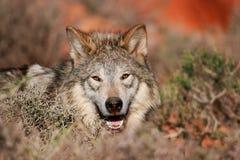 Retrato do lobo cinzento Fotos de Stock Royalty Free