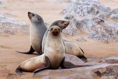 Retrato do lobo-marinho de Brown - leões de mar em Namíbia Fotos de Stock