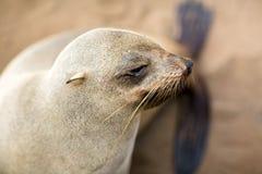 Retrato do lobo-marinho do cabo Fotografia de Stock